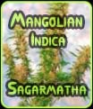 Las semillas mongoles Indica Sagamatha