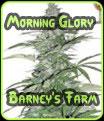 Las semillas de Morning Glory Eva