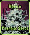 Semillas nebulosa Paradise