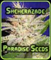 Semillas sheherazade Paradise