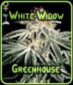 White Widow - Semillas de efecto invernadero