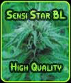 Sensi Star Negro Label - Semillas de alta calidad