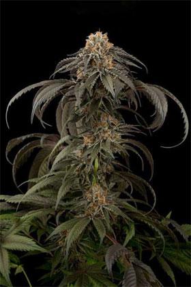紫色阿富汗库什 Dinafem Seeds