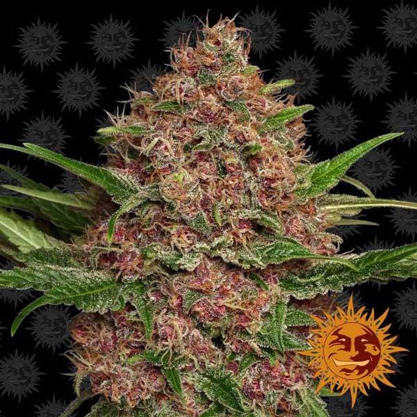 紫色打孔大麻种子